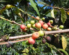 Visit a Kilimanjaro Coffee Plantation - Half Day Excursion
